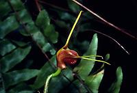 Masdevallia infracta, orchid species, Pleurothallid, The Crooked Masdevallia, Alaticaulia, SUBGENUS Masdevallia, SECTION Polyanthae