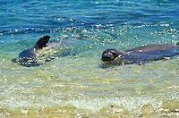 The endangered Hawaiian monk seals, latin name: monachus schauinslandi, off the coast of Niihau
