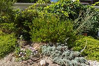 A Howard McMinn manzanita forms the centerpiece of this beautiful display of natives in an Irvine garden.  Also seen are an Artemesia pycnocephala 'David's Choice', Baccharis pilularis consanguinea Pozo Surf, and Erigeron glaucus, the seaside dasiy.