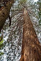 Sequoiadendron giganteum, Giant sequoia or  Sierra redwood; native tree looking up; Southern California Montane Botanic Garden