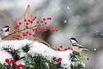 Black-capped chickadee on festive fence