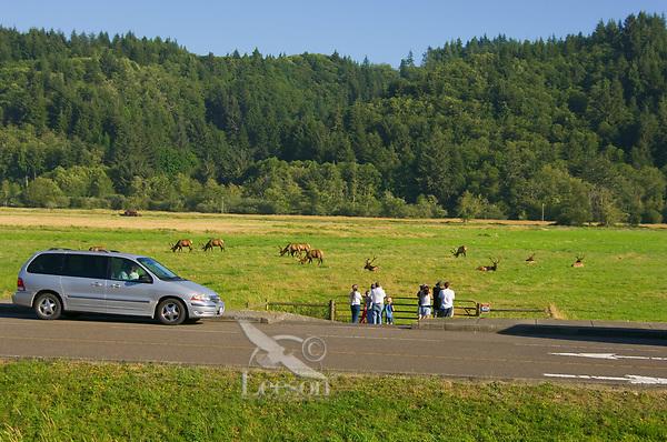 People watching Roosevelt Elk at Dean Creek Elk Viewing Area, Oregon coast.  Summer.