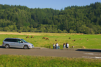 People watching Roosevelt Elk at Dean Creek Elk Viewing Area, Oregon coast.  Summer.