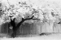 Infrared tree and fence, Lubbock, Texas.<br /> <br /> Nikon F3HP, 50mm lens, Kodak High Speed Infrared film, red filter