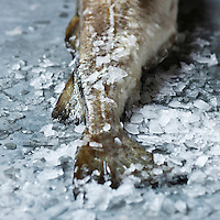 Europe/Norvège/Iles Lofoten : Skrei ou cabillaud - Stylisme : Valérie LHOMME