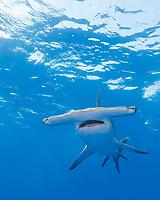 great hammerhead shark, Sphyrna mokarran, Great Bahama Bank, Bahamas (Western North Atlantic Ocean)