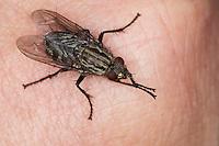"""Fleischfliege, Fleisch-Fliege, """"Brummer"""", Sarcophaga spec., fleshfly, flesh-fly, Sarcophagidae, Aasfliegen, Fleischfliegen, fleshflies"""