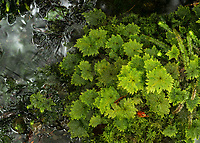 Umbrella moss, Hypopterygium rotulatum, Westland Tai Poutini National Park, West Coast, UNESCO Wolrd Heritage Area, New Zealand, NZ