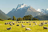 Sheep farming near Glenorchy with mountains of Mt. Aspiring National Park behind, UNESCO World Heritage Area, New Zealand, NZ