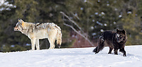 These two members of the Wapiti Lake Pack were hanging out near an old carcass one afternoon. They even tried mating at one point. 'Tis the season…