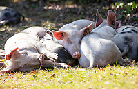 BNPS.co.uk (01202) 558833. <br /> Pic: CorinMesser/BNPS<br /> <br /> Pictured: Pigs sleep off a belly full of acorns in the sun at Pilley Green in the New Forest. <br /> <br /> Hundreds of pigs have been let loose in the ancient New Forest national park to gobble up fallen acorns which are poisonous to other animals.<br /> <br /> The quirky tradition involves swine roaming the Hampshire woodland to clear it of the fruit which can be fatal to the famous ponies and cattle.<br /> <br /> They will spend 60 days rummaging around the 70,000 acre forest before being rounded up in November.
