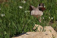 The Inca Doves rufous wings are only visible in flight. Crows Poison Wildflowers in the background.