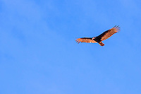 America,Mexico,Baja California,vulture,Complejo insular Espiritu Santo