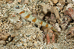 Shrimp gobies (Amblyeleotris sp.) with its partner shrimp
