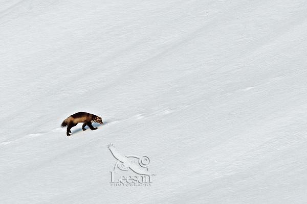Wild wolverine (Gulo gulo).  Northern U.S. Rocky Mountains.  October.