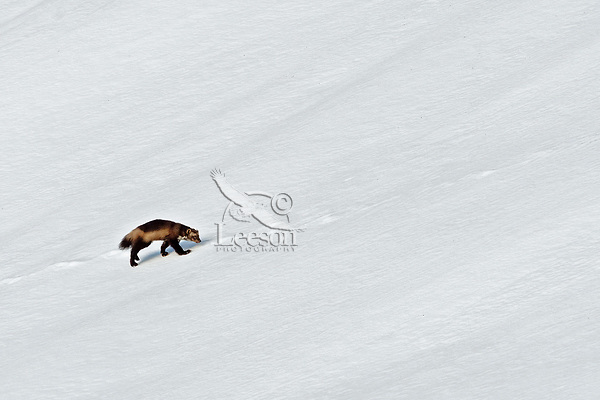 Wild wolverine (Gulo gulo) following old sheep or mt. goat tracks across snow covered mountain slope.  Northern U.S. Rocky Mountains.  October.