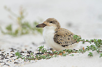 Fledgling Black Skimmer (Rynchops niger). Gulf Islands National Seashore, Florida. June.