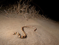 Colorado Desert Shovel-nosed Snake - <br /> Chionactis occipitalis annulata - These beautiful little snakes swim across and under the sand, erupting periodically to terrorize and devour small insects like the sand worms in Beetlejuice.