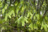 Gewöhnliche Fichte, Rot-Fichte, Rotfichte, Picea abies, frische Triebe, Maiwipfel, Fichtensprosse, Nadeln, Common Spruce