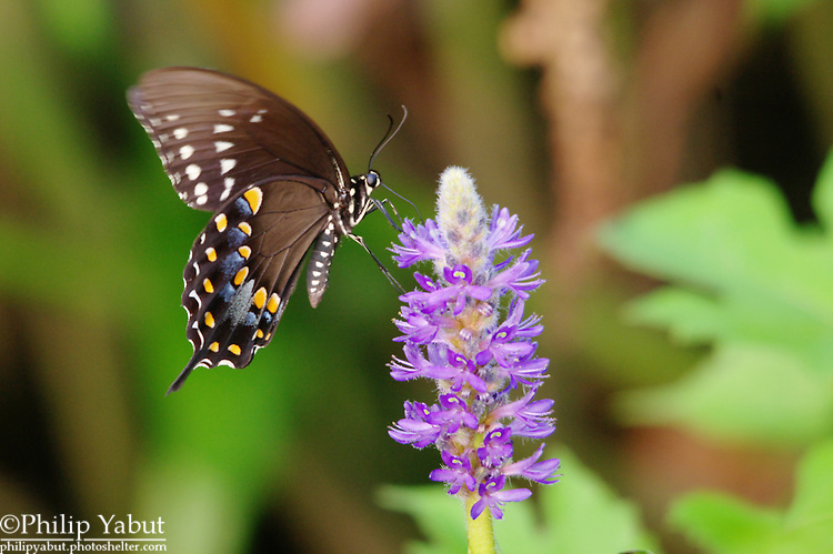 A black swallowtail (Papilio polyxenes) feeds in Kenilworth Aquatic Gardens.