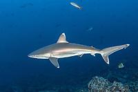 silvertip shark, Carcharhinus albimarginatus, Socorro Island, Revillagigedo Islands, Mexico, Pacific Ocean