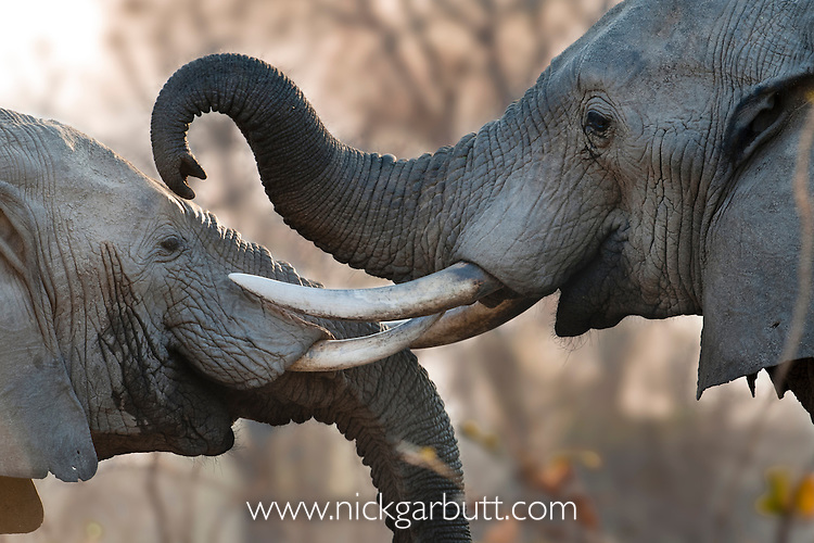Adult bull African Elephants (Loxononta africana) sparring. Banks of the Luangwa River. South Luangwa National Park, Zambia.