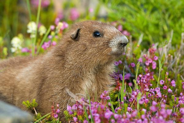 Olympic Marmot (Marmota olympus) in alpine area of Olympic Mountains, Olympic National Park, Washington.  Summer.
