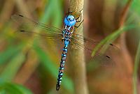 339360053 a wild male blue-eyed darner rhionaeschna multicolor perches on a plant stem near bishop inyo county california