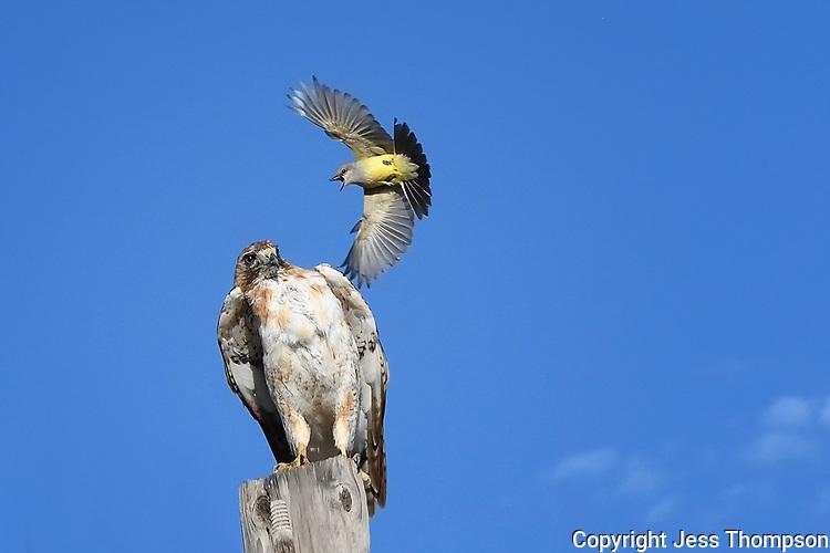 Western Kingbird attacks Red-tailed Hawk, West Texas roadside