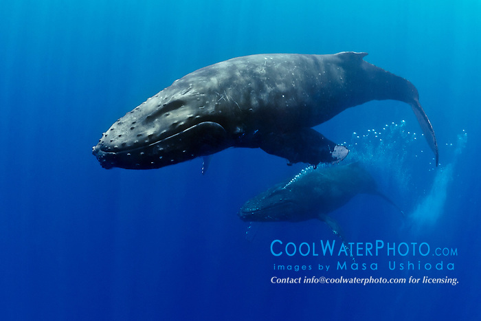 humpback whales, Megaptera novaeangliae, displaying courtship behavior - male aggressively pursuits female while blowing bubbles vigorously,  Hawaii, USA, Pacific Ocean