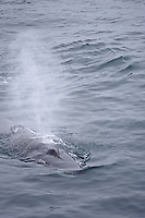 Fin Whale Balaenoptera physalusSurfacing and spouting Spitsbergen Arctic Norway North Atlantic