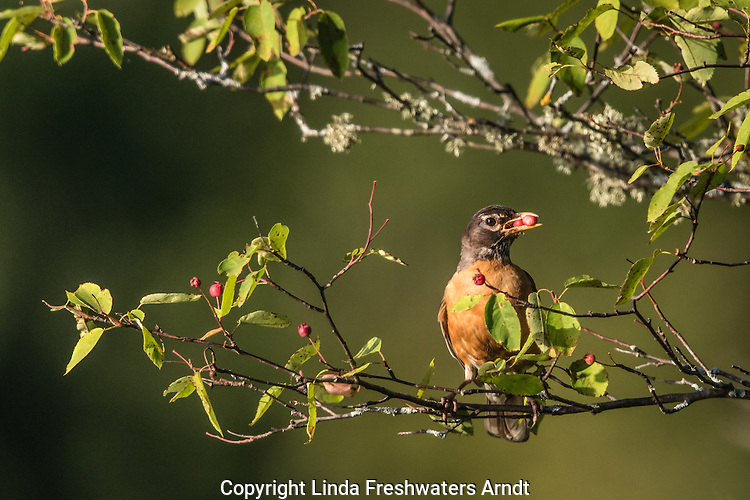 American robin eating June berries
