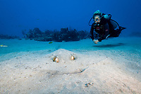 southern stingray, Dasyatis americana, hiding in sand, and woman scuba diver, Double Wreck, Sint Eustatius, aka Statia, Netherlands, Caribbean Sea, Atlantic Ocean