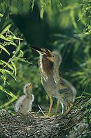 Green Heron, Butorides virescens,adult with young in nest in Willow Tree, Welder Wildlife Refuge, Sinton, Texas, USA, June 2005