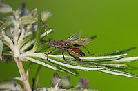 Sichelbein, Sichelbein-Wanze, Krummfühlerwanze, Krummfühler-Wanze, Camptopus lateralis, Broad-headed Bug, Krummfühlerwanzen, Alydidae