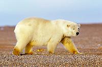 polar bear, Ursus maritimus, Barter Island, Arctic National Wildlife Refuge, Alaska, polar bear, Ursus maritimus