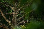 Rhinoceros Hornbill (Buceros rhinoceros) male, Deramakot Forest Reserve, Sabah, Borneo, Malaysia