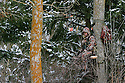 00105-050.08 Bowhunting:  Archer in tree stand is well camouflaged as he hunts on cold day after recent snow fall.  Hunt, winter, late season, spruce.