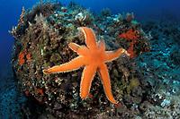 seven-armed starfish or sea star, Luidia ciliaris, Vela Luka, Korcula island, Croatia, Adriatic Sea, Mediterranean