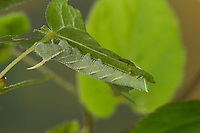 Lindenschwärmer, Raupe frisst an Linde, Linden-Schwärmer, Mimas tiliae, Lime Hawk-moth, caterpillar, Le sphinx du tilleul, Schwärmer, Sphingidae, hawkmoths, hawk moths, sphinx moths