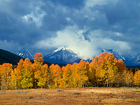 749450300 aspens populus tremuloides in reddish gold fall color frame the base of mount moran and the tetons shrouded in clouds from a thunderstorm in grand tetons national park wyoming