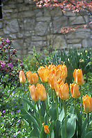 Yellow orange tulips in front of wall in garden with dogwood and azalea and vinca minor