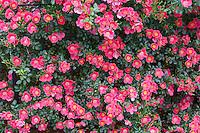 Bright Carpet rose. Heirloom Gardens, Oregon