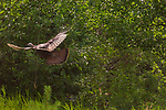 Spooked hen turkey flying into the brush.
