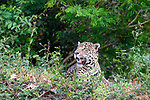 Male Jaguar (Panthera onca palustris) resting along on the edge of the Paraguay River. Taiama Ecological Reserve, northern Pantanal, Mato Grosso State, Brazil.