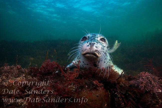 Harbour Seal (Phoca vitulina) underwater in the Strait of Georgia, British Columbia, Canada.