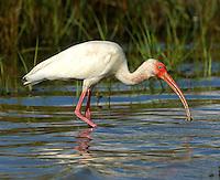 Adult white ibis feeding