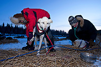 Volunteer veterinarians Elizabeth King and Glenn Behan check over Jason Barron's dogs at the Nikolai checkpoint during the 2010 Iditarod
