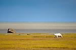 Adult female Polar Bear (Ursus maritimus) on the shores of Hudson Bay, Canada. (Sept).