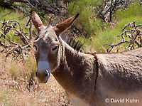 0711-1007  Wild Burro (Feral Donkey), Mojave Desert, Equus africanus asinus  © David Kuhn/Dwight Kuhn Photography